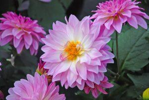 kthread-dahlia-flower-220627-o