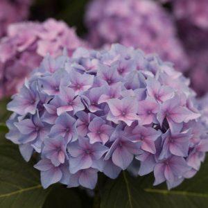 hydrangea-lets-dance-blue