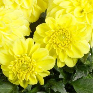 Flower Flats